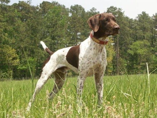 Stud Dog Auction